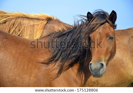 Closeup of wild brown horse in a National Seashore park on the US Atlantic Coast, a brown mare looking out towards the beach. She is with other horses and is enjoying the sunny weather and cool breeze - stock photo