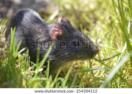 Closeup of wild Guinea pig, Cavia aperea, in grass  - stock photo