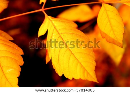 Closeup of yellow and orange toned sharped autumn leaves.
