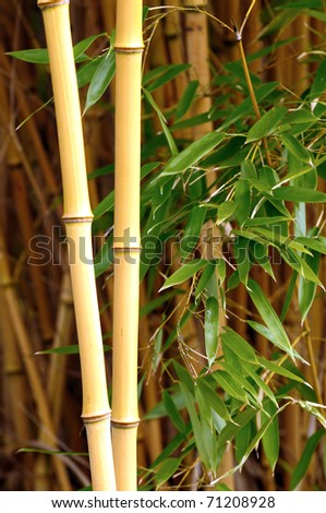 Closeup of yellow bamboo stalks in a bamboo forest