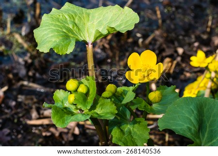 Closeup of yellow blooming and budding Kingcup or Caltha palustris in its own swampy habitat. - stock photo