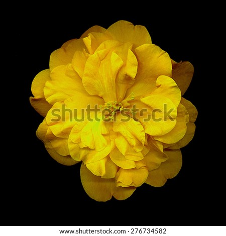 closeup of yellow camellia flower on black background