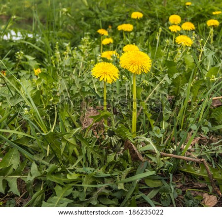 Closeup of yellow flowering Dandelions or Taraxacum plants in springtime in their natural habitat. - stock photo