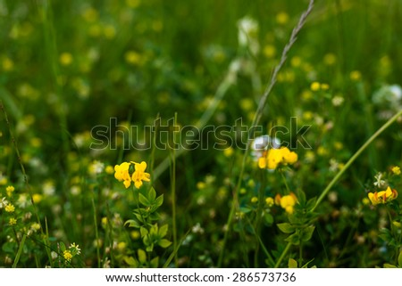 Closeup of yellow flowering Lathyrus pratensis or meadow vetchling plants in their own natural habitat. - stock photo