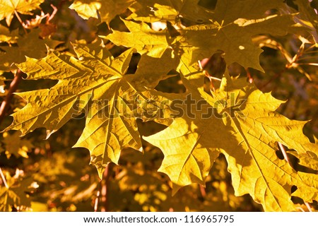 closeup of yellow maplle leaves