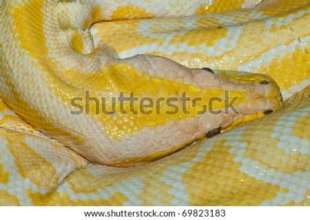 Closeup of yellow snake, Thailand. - stock photo