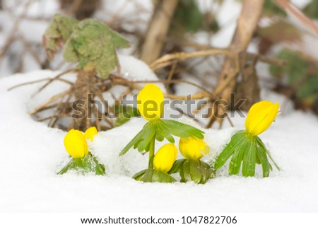 Closeup of yellow winter aconite flowers in the snow