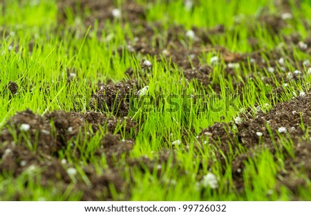 Closeup of young fresh green grass in the soil - stock photo