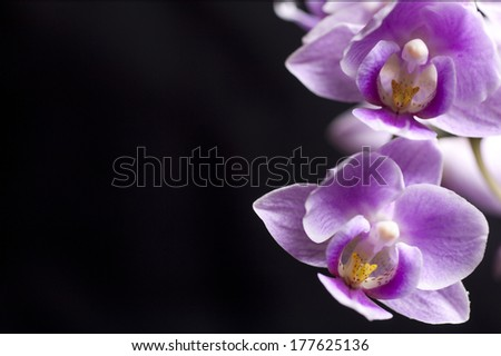 Closeup on a colorful orchids with black background - stock photo