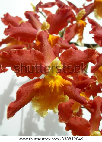 Closeup on a red orchid with an orange center petal as a floral background - stock photo