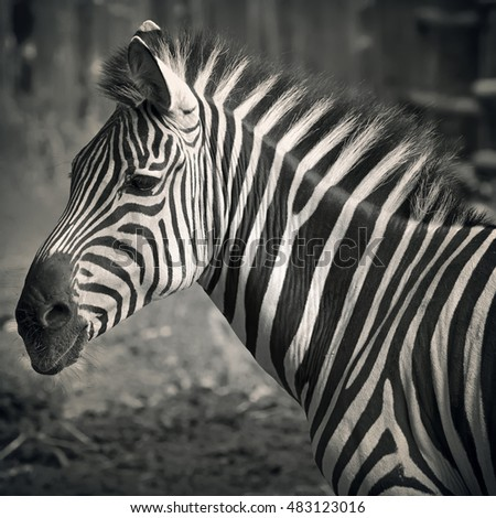 Closeup on beautiful zebra's head