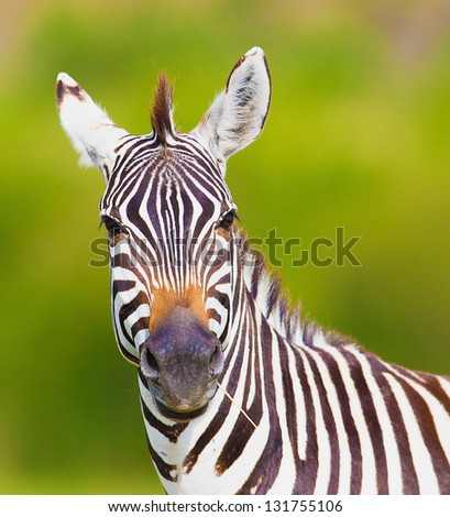 Closeup on beautiful zebra's head looking curiously and standing in savannah grass with sky in the background - stock photo
