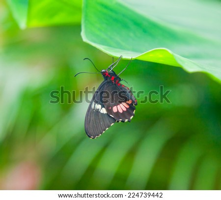 Closeup on black butterfly hanging among green leaves - stock photo