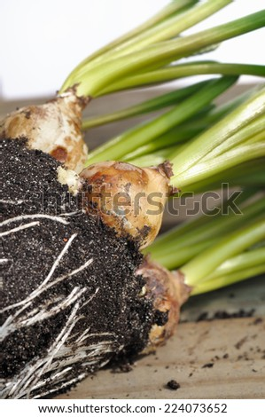closeup on bulbs of flower in the soil - stock photo