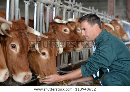 Closeup on cows being fed by cattleman - stock photo