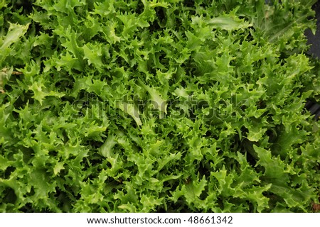 Closeup on green lettuce detail, spanish cultivation - stock photo