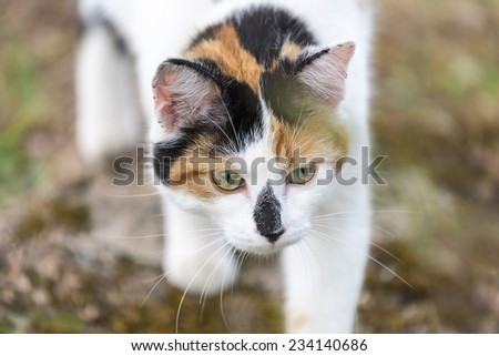 Closeup on head cat. This domestic animal walking slowly. Outdoors portrait of mixed-breed cat. Color image