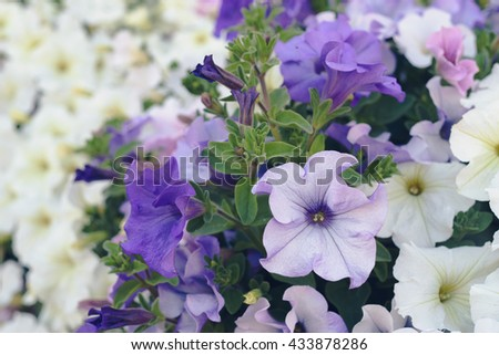 Closeup on multicolored blooming petunia flowers, summertime background - stock photo