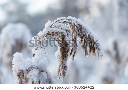 Closeup on reed covered by snow, shallow depth of field - stock photo