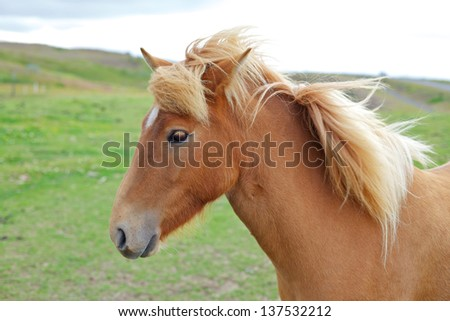 Closeup on the head of Icelandic horse Iceland. - stock photo