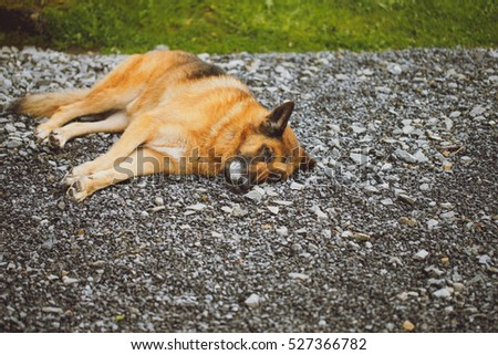 Closeup on the old and muddy german shepperd sleeping