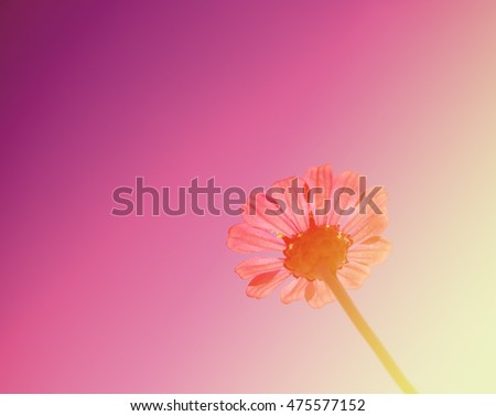 Closeup on zinnia flower, Beautiful on zinnia in the outdoor nature in rainy season on a beautiful sunlight day on pastel colors soft focus blur background.