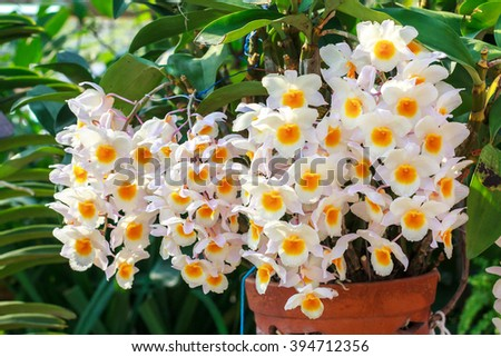 Closeup orchid texture of white yellow orchid phalaenopsis. Beautiful orchid flower blooming. Bouquet of orchid flower. orchid flower of Thailand. Orchid background for design. - stock photo