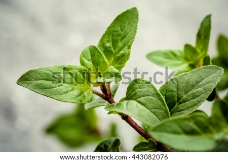 Closeup oregano leaves from the herb garden. Fresh oregano herb on stone background. Fresh oregano shallow depth of field. - stock photo