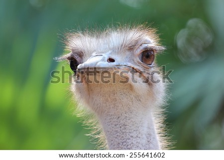 Closeup, Ostrich head and green background