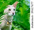 Closeup outdoor macro portrait of an oriental shorthair cat with handbell in grass - stock photo