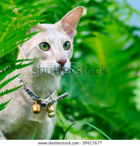 Closeup outdoor macro portrait of an oriental shorthair cat with handbell in grass - stock photo
