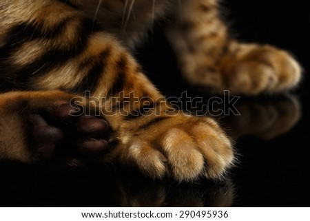 Closeup Paws of Bengal Kitty on Black Background