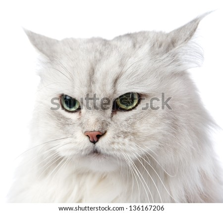 closeup persian gray cat portrait. isolated on white background - stock photo