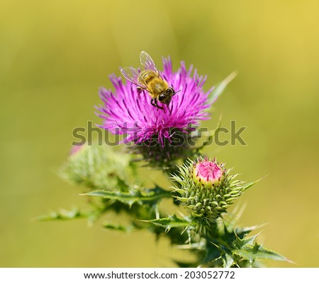 Closeup photo of a bee on thistle wildflower in the field - stock photo