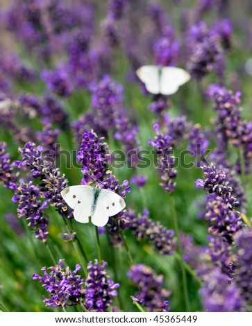 Closeup photo of a Cabbage White butterfly on lavender, with another butterfly in the background. Photo has short depth of field. - stock photo