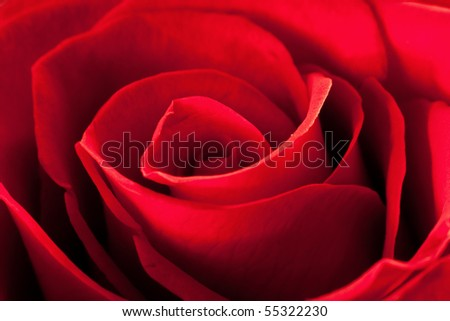 Closeup photo of beautiful red rose flower - stock photo