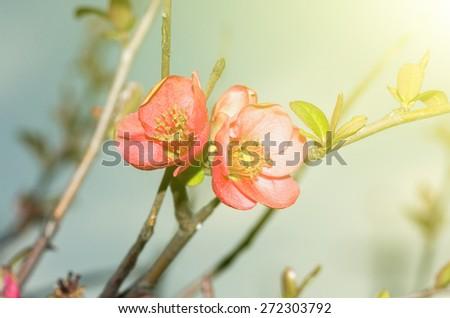 closeup photo of chaenomeles flowers - stock photo