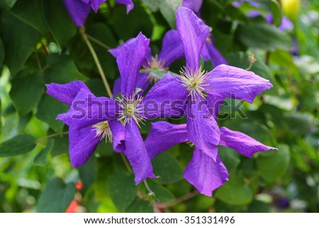 Closeup photo of Clematis viticella (Polish Spirit) purple flower in the garden - stock photo