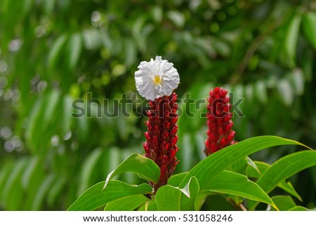 Closeup photo of crepe ginger white flower blossoming in the garden in Singapore (Costus speciosus)