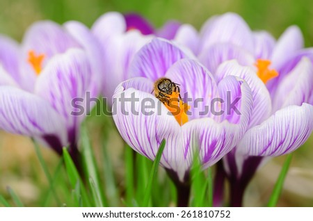 Closeup photo of crocus flowers in the garden - stock photo
