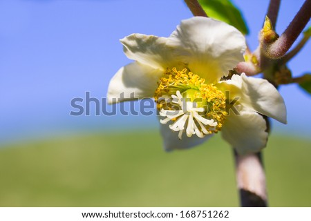 Closeup photo of kiwi flower - stock photo