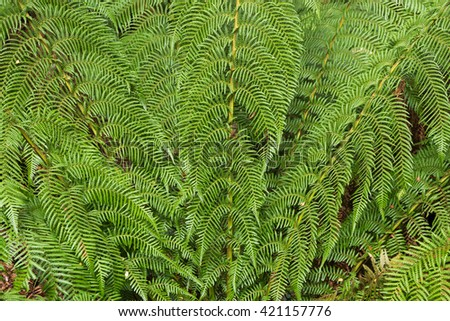 Closeup photo of lush ferns growing in the rainforest at Otway national park, Victoria, Australia