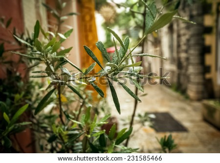 Closeup photo of olive tree growing on old greek street at rainy weather - stock photo