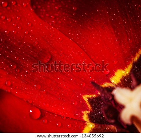 Closeup photo of red tulip core, abstract floral background, dew drops on petals of flower, spring time nature detail - stock photo