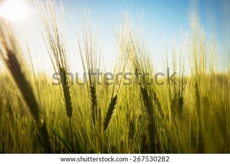 Closeup photo of some fresh wheat outdoors - stock photo