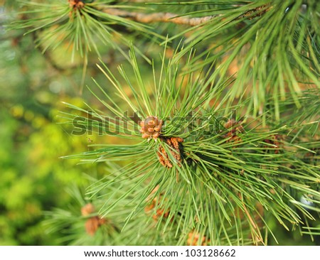 Closeup photograph of white pine needles with a shallow depth of field. - stock photo