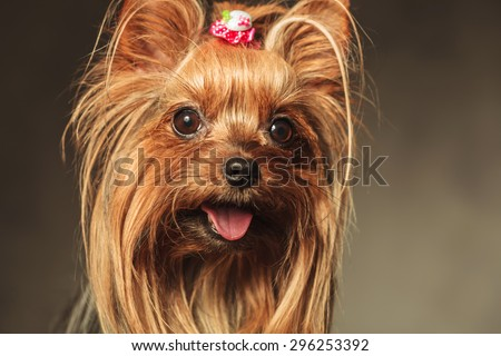 closeup picture of a happy little yorkshire terrier puppy dog face with mouth open and tongue exposed - stock photo