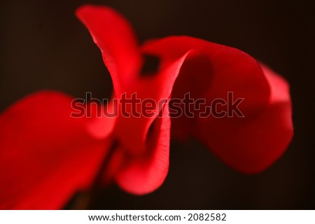closeup picture of a red flower