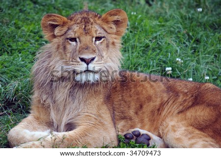 Closeup picture of a young male lion resting in the grass