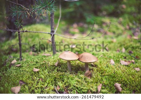 Closeup picture of Leccinum scabrum with brown cap growing in wild forest in Latvia. Edible mushroom growing in nature. Botanical photography.  - stock photo